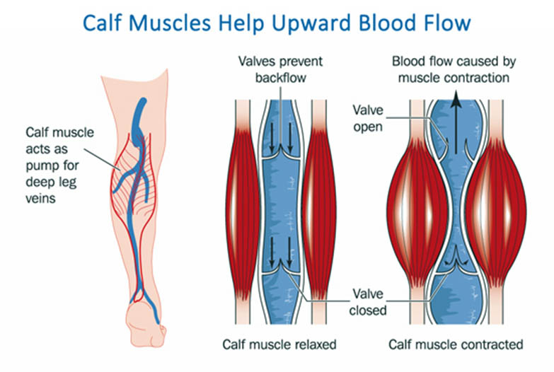 how your calves help pump blood back to the heart